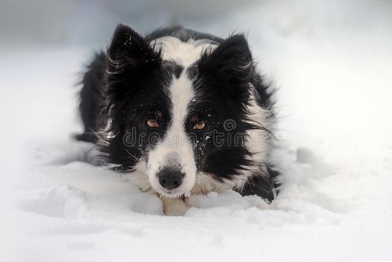 het sprookjeportret van het de winterpuppy van een border collie-hond in sneeuw stock foto's