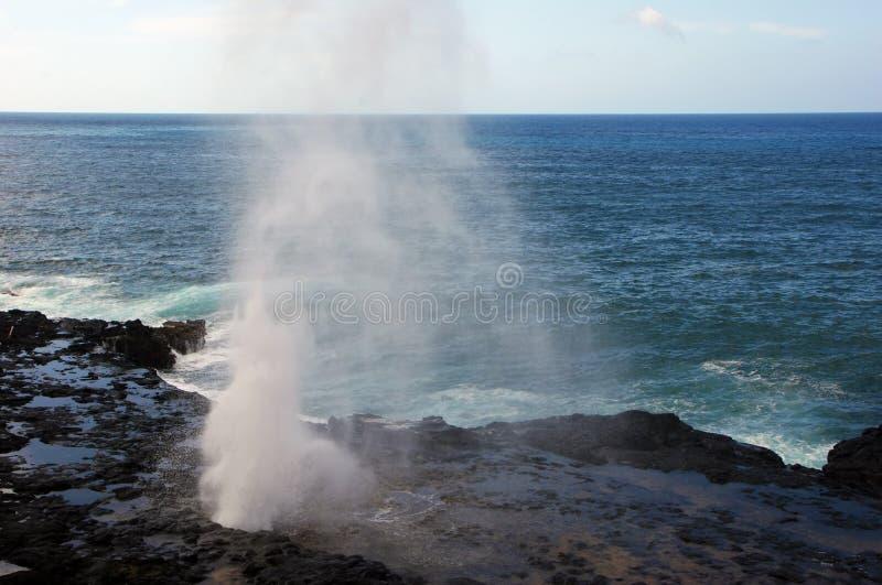Het spuiten Hoorngietgal op Kauai royalty-vrije stock afbeeldingen