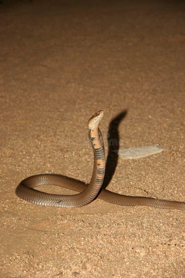 Het Spuwencobra van Mozambique stock afbeeldingen