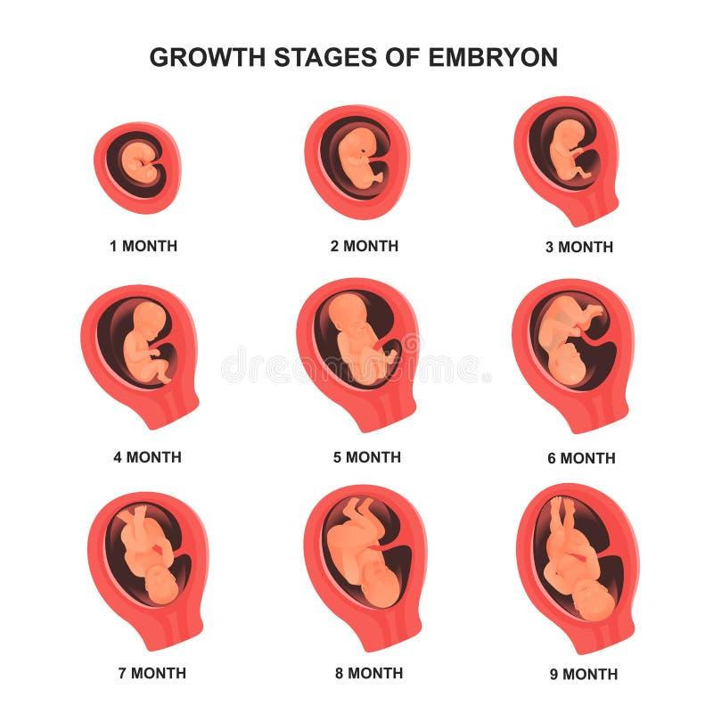 Het stadium van de embryogroei dat met namen, medische affiche wordt geplaatst vector illustratie