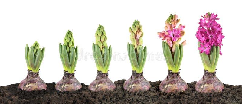 Het stadium van de hyacintgroei op witte achtergrond wordt geïsoleerd die stock foto