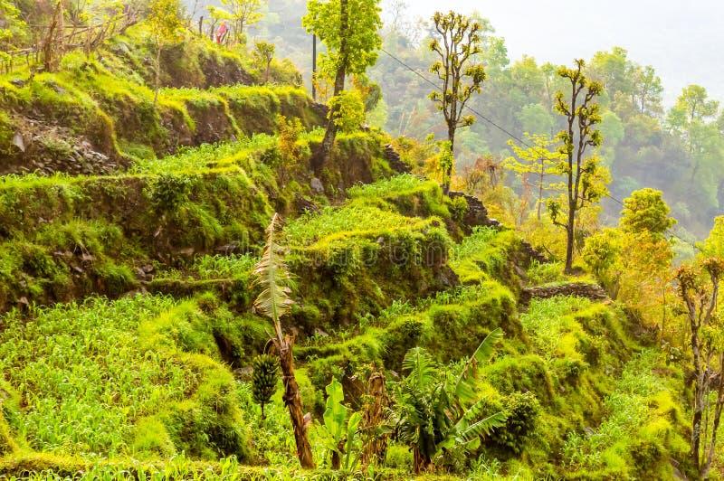 Het staplandbouwbedrijf die mooie groene tarwe kweken schoot tegen een blauwe hemel en witte wolken in Noord-India Shimla is één  royalty-vrije stock fotografie