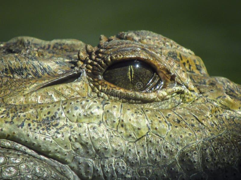 Het staren van oog van krokodil stock foto