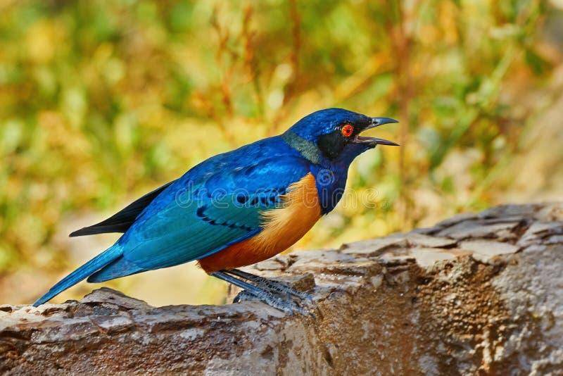 Het starling van vogelshelley ` s royalty-vrije stock foto