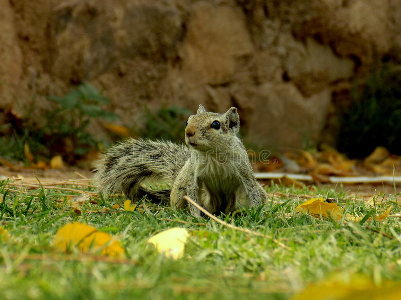 Het stellen Eekhoorn stock foto