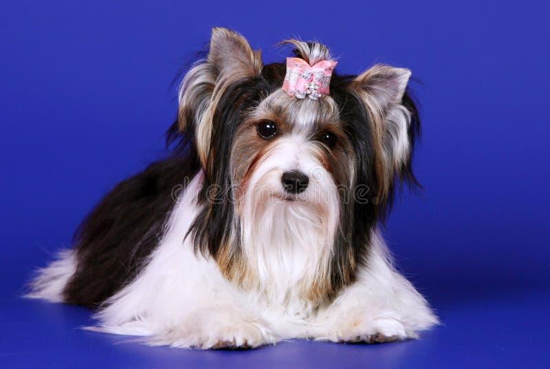 Het stellen van beveryork tegen een blauwe achtergrond Een hondterriër ligt in een roze boog royalty-vrije stock foto's