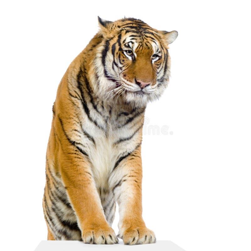 Het stellen van de tijger royalty-vrije stock fotografie