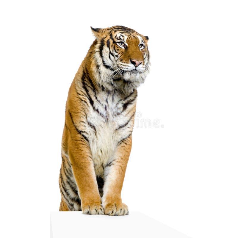 Het stellen van de tijger stock fotografie