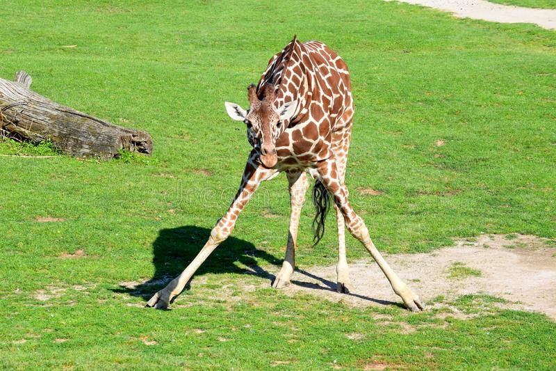 Het Stellen van girafgiraffa Reticulata royalty-vrije stock afbeeldingen