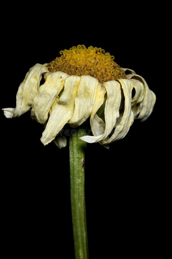 Het sterven Chrysant stock foto