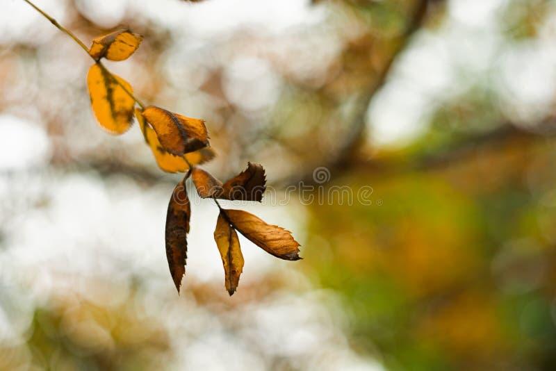 Het sterven de herfstbladeren op een tak royalty-vrije stock foto's