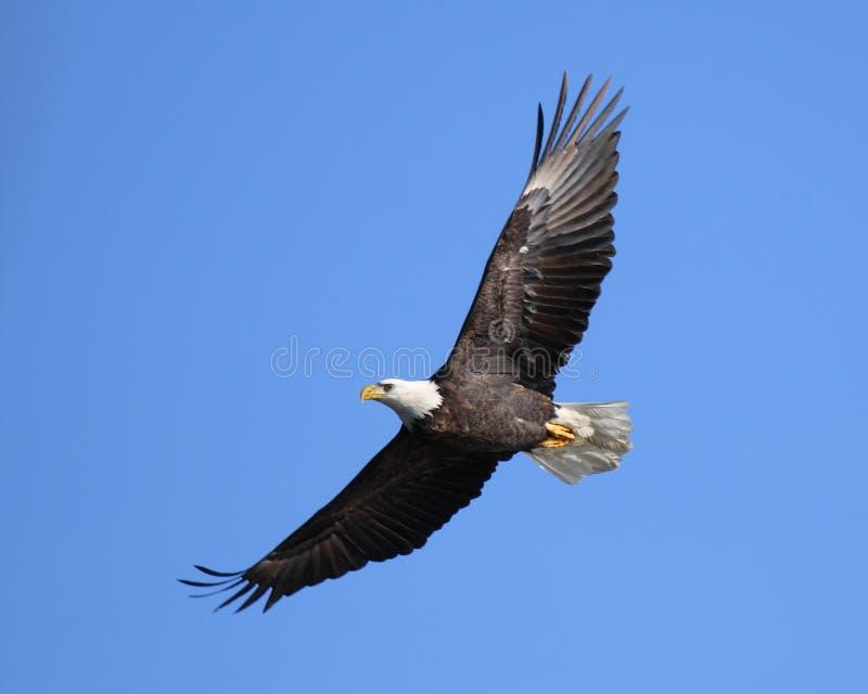Het stijgen adelaar stock fotografie