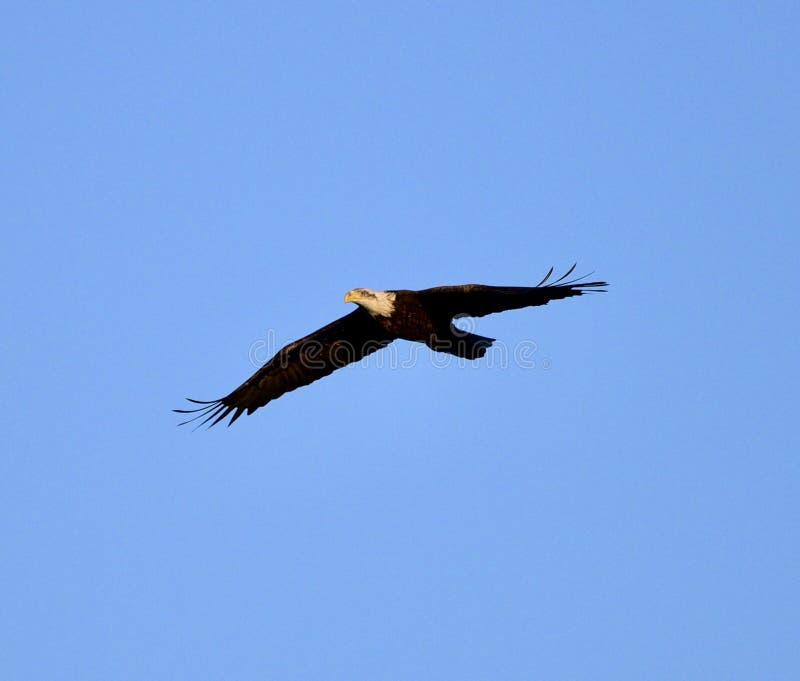 Het stijgen Amerikaans Kaal Eagle stock fotografie