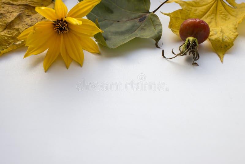 Het stilleven van de herfst De gele bloem, droogt bladeren, namen de heupen van wildernis op witte achtergrond toe stock foto
