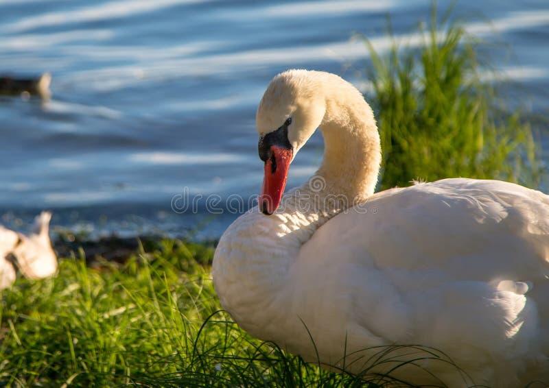 Het stodde zwaanwijfje neemt haar youngs bij een meer in Duitsland waar royalty-vrije stock fotografie