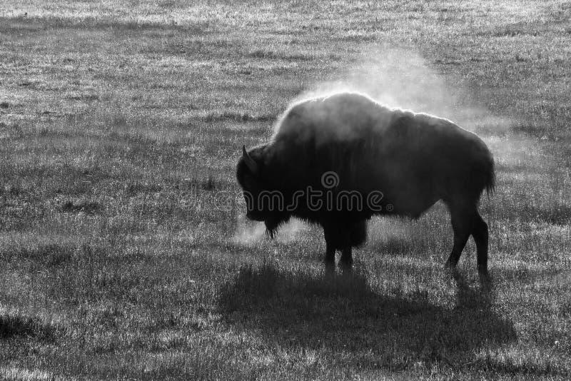 Het stomen van bizon stock afbeelding