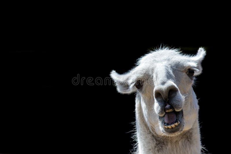 Het stomme dierlijk kijken Malle lama Grappig memebeeld met exemplaar-s royalty-vrije stock afbeeldingen