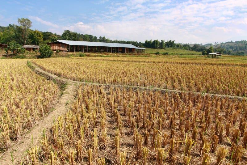 Het stoppelveld van de rijst royalty-vrije stock foto