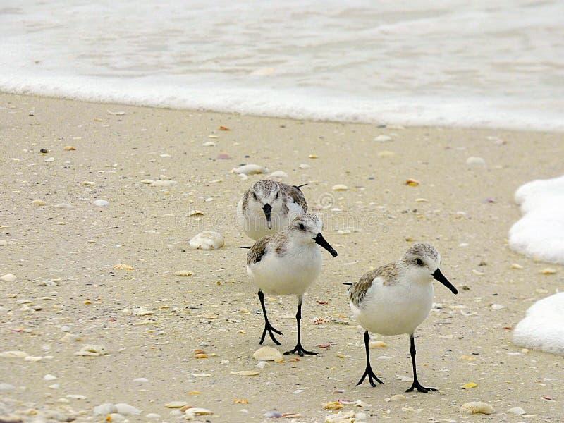 Het strand van Florida, Madera, drie watersnippen zoekt voedsel op de kust stock foto's