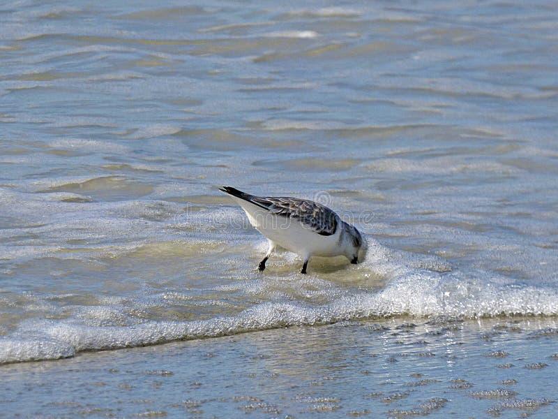 Het strand van Florida, Madera, een watersnip zoekt voedsel op de kust stock foto's