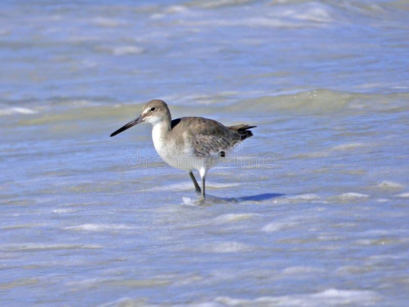 Het strand van Florida, Madera, een watersnip zoekt voedsel op de kust stock afbeelding