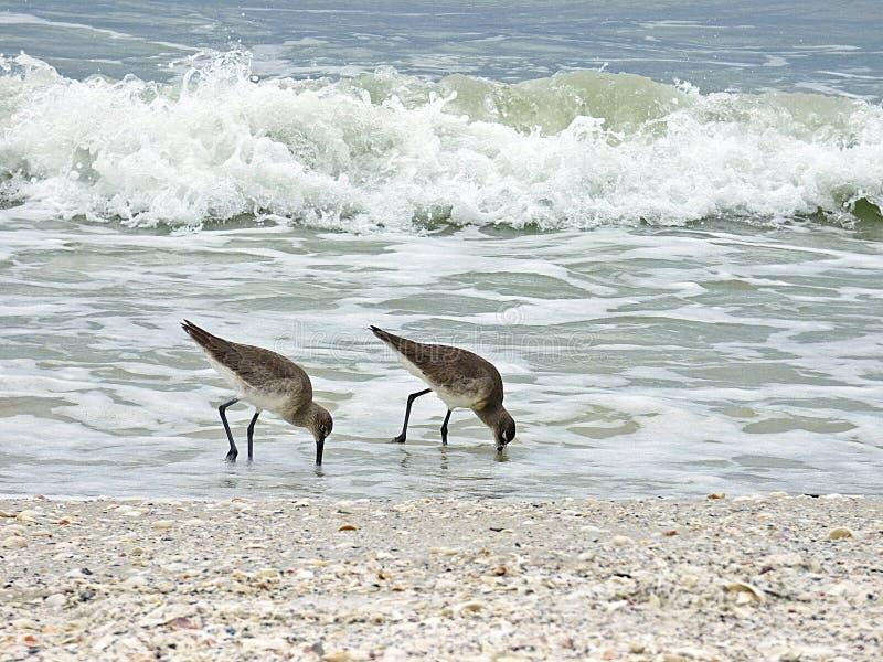 Het strand van Florida, Madera, twee watersnippen zoekt voedsel op de kust stock foto