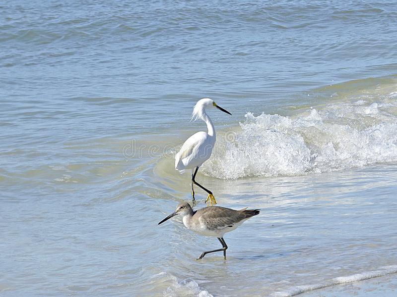 Het strand van Florida, Madera, het strand van Florida, Madera, zeevogels zoekt voedsel op de kust stock foto
