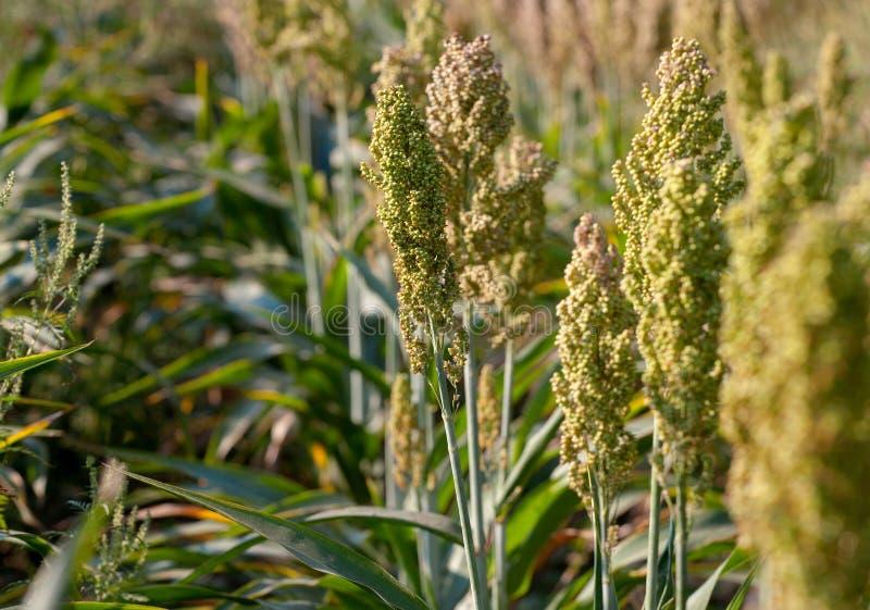 Het struikengraangewas en de foeragesorghum planten één soort rijp en groeien op een rij op het gebied stock foto