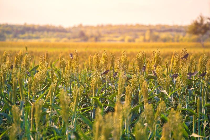 Het struikengraangewas en de foeragesorghum planten één soort rijp en groeien op een rij in openlucht op het gebied stock fotografie
