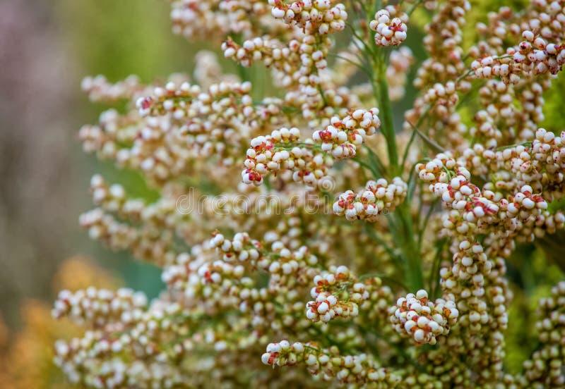 Het struikengraangewas en de foeragesorghum planten één soort rijp en groeien op het gebied royalty-vrije stock afbeeldingen