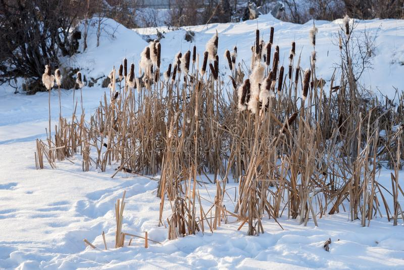 Het struikgewas van droog meerriet bevindt zich in de sneeuw, dichtbij de snow-covered kust stock fotografie