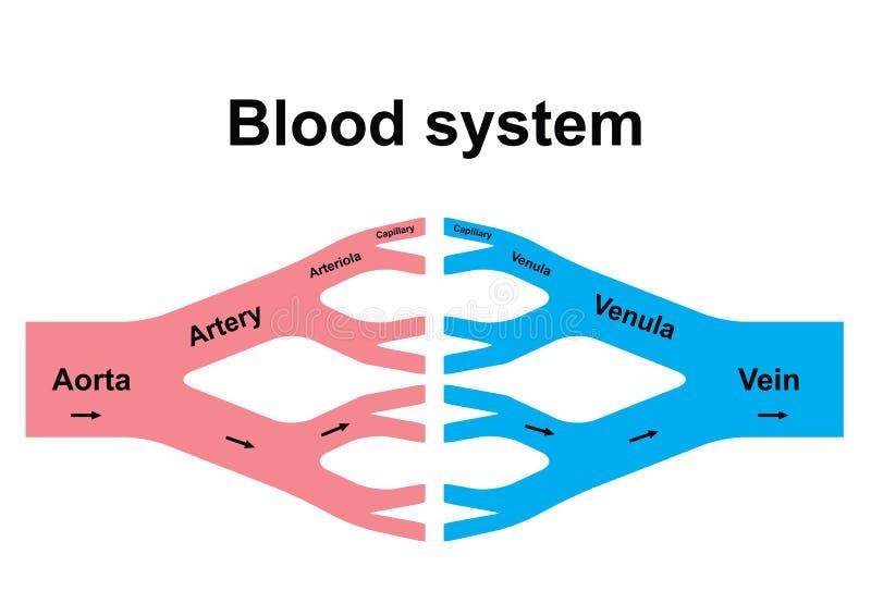 Het systeem van de bloedomloop vector illustratie