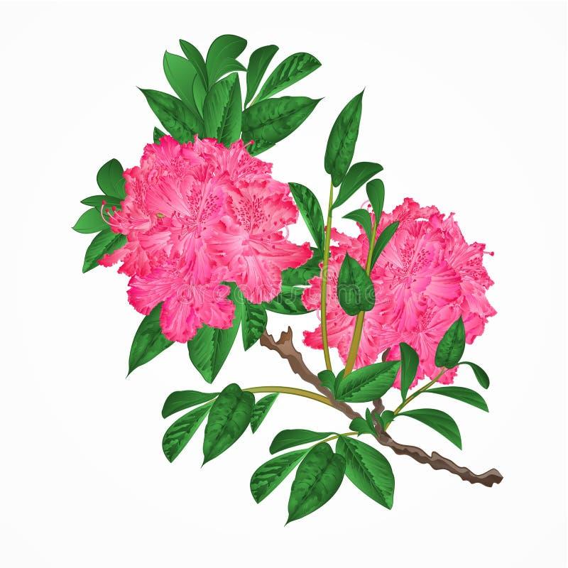 Het takje uitstekende vector van bloemen roze rododendrons royalty-vrije illustratie