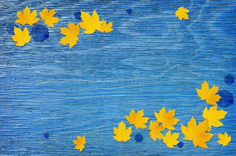 Het takje van de de herfstesdoorn met gele bladeren en regendalingen op blauw hout royalty-vrije stock afbeelding