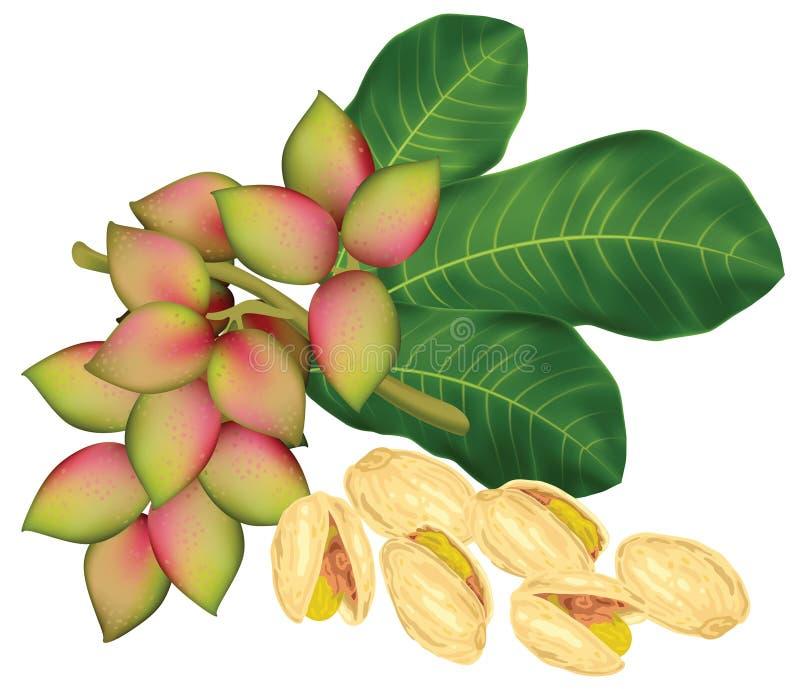 Het takje van de pistache met vruchten. vector illustratie