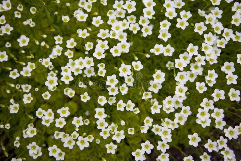 Het tapijt van kleine witte bloemen stock afbeeldingen