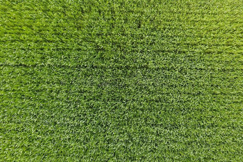 Het tarwegebied is groen Jonge tarwe op het gebied Mening van Ab stock fotografie