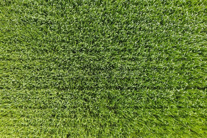 Het tarwegebied is groen Jonge tarwe op het gebied Mening van Ab royalty-vrije stock foto's