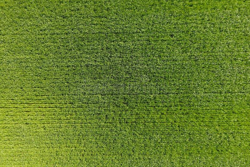 Het tarwegebied is groen Jonge tarwe op het gebied Mening van Ab stock foto