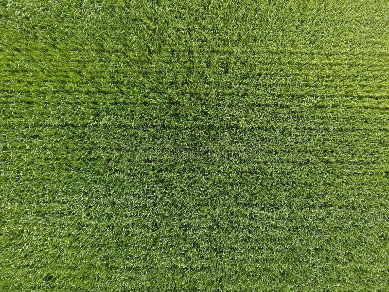 Het tarwegebied is groen Jonge tarwe op het gebied Mening van hierboven Weefselachtergrond van groene tarwe Groen gras stock foto