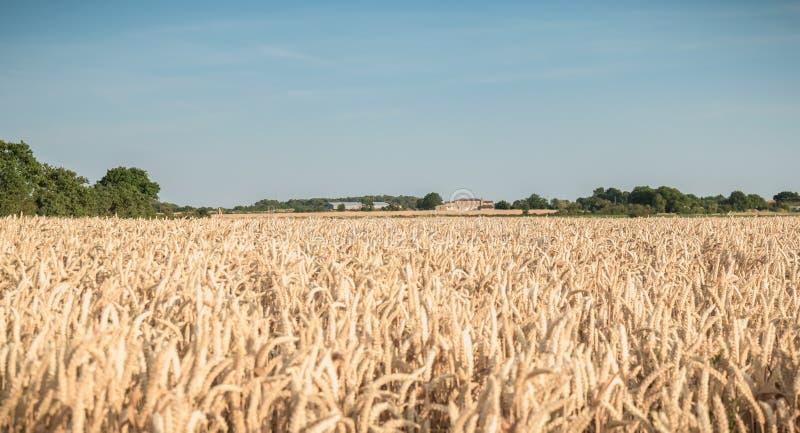 Het tarwegebied rijpte vlak vóór de oogst stock afbeeldingen