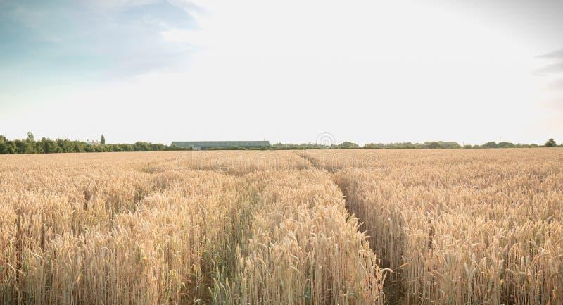 Het tarwegebied rijpte vlak vóór de oogst stock foto's