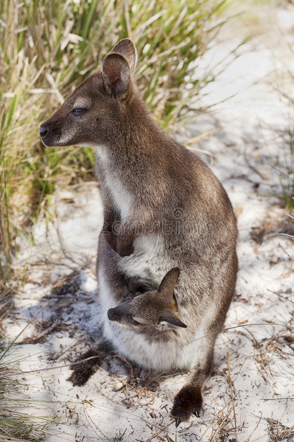 Download Het Tasmaanse Wild stock afbeelding. Afbeelding bestaande uit zoogdier - 24181945