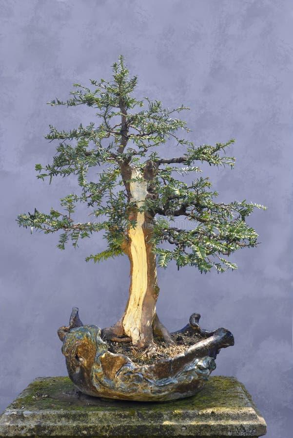 Het Taxushout van de bonsaiboom (Taxus baccata) stock foto