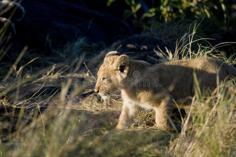 Het te onderzoeken begin van de leeuwwelp, Maasai Mara, Kenia stock foto's