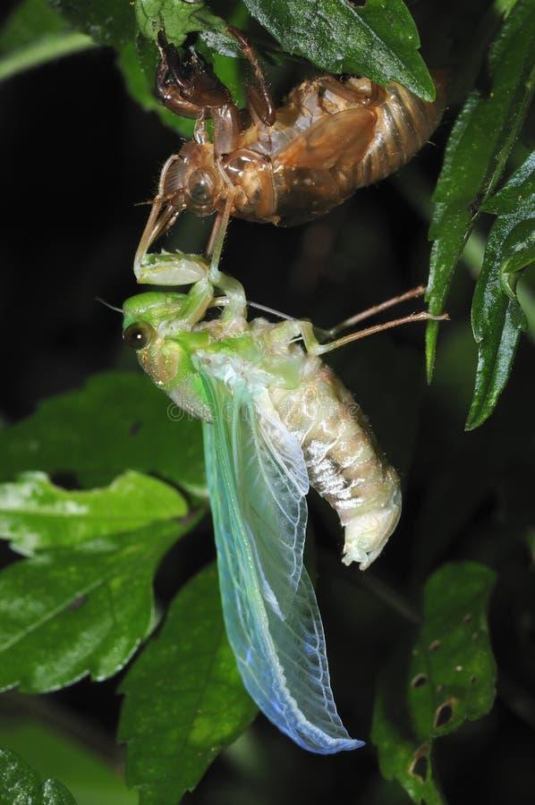 Het te voorschijn komen Cicade - 3 royalty-vrije stock fotografie