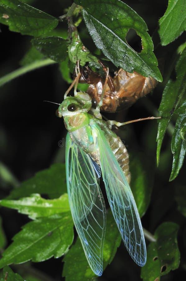 Het te voorschijn komen Cicade - 4 royalty-vrije stock afbeeldingen