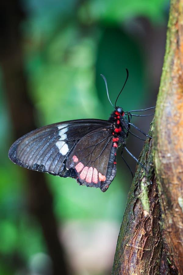 Het Te Voorschijn Komen Vlinder Stock Foto