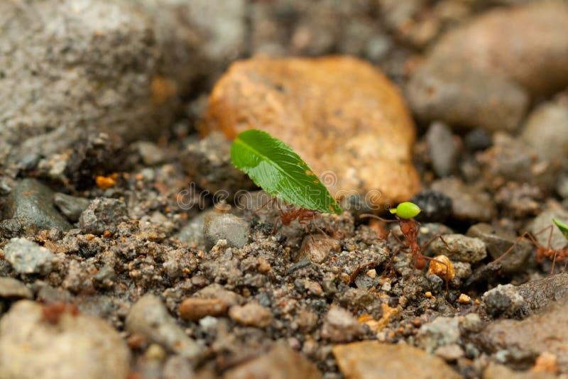 het teamwerk, mieren van Costa Rica stock afbeeldingen