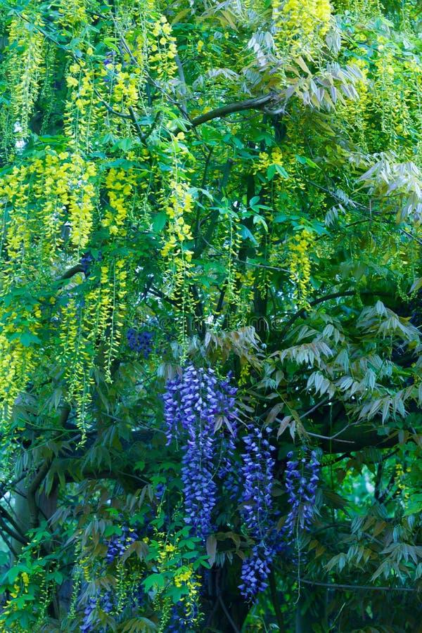 Het tegenover elkaar stellen gekleurde wisterias in geel en purple - beeld royalty-vrije stock foto's